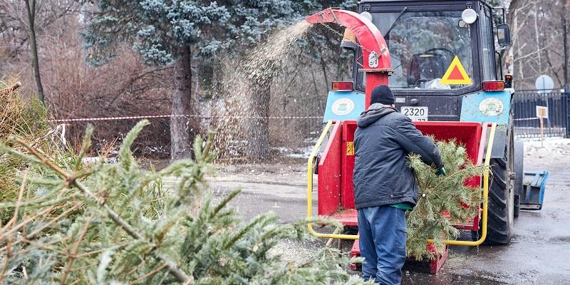 Вдвое больше новогодних елок сдано в утиль в этом году